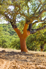 Cork Tree Medina Sidonia Spain