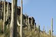 Постер, плакат: Saguaro cacti Tucson Arizona