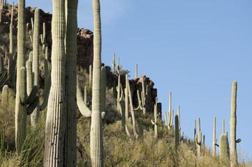 Saguaro cacti Tucson, Arizona
