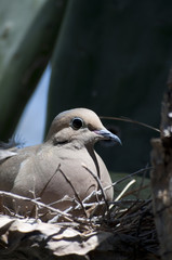 Mourning Dove Zenaida macroura in prickly pear cactus Arizona