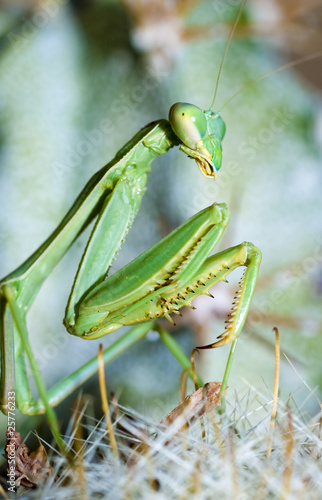 Praying mantis, Mantis religiosa