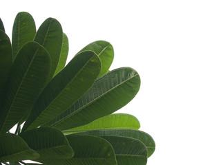 Frangipani leaves.
