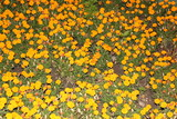 Carpet of Marigold