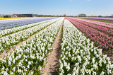 Flower bulbs in Holland