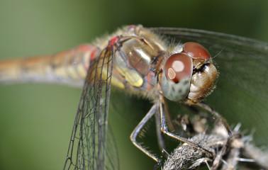 Macro con libélula.