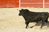 Spanish bull. Bullfight.