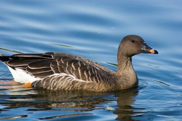 Anser fabalis, Bean Goose