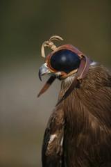 Black Kite Bird (Milvus Migrans)