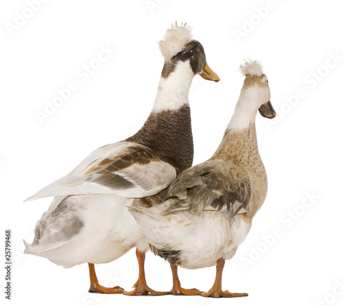 Two crested ducks, 3 years old
