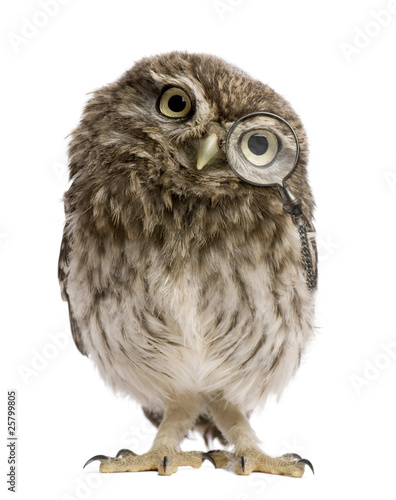 Little Owl wearing magnifying glass, Athene noctua - 25799805