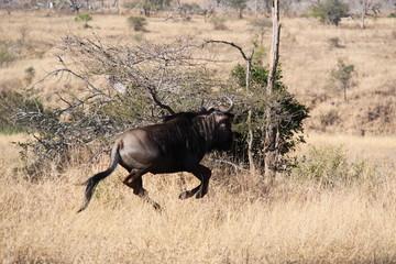 huida hacia delante, sudafrica