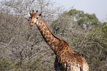 Girafa salvaje - sudafrica