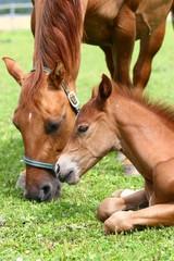 Fohlen mit Mutterstute