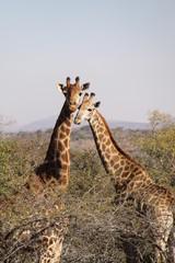 Girafas enamoradas