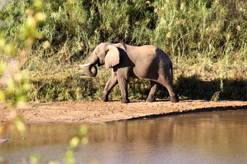 Elefante libre