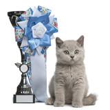 British Shorthair Kitten sitting next to a winning prize poster