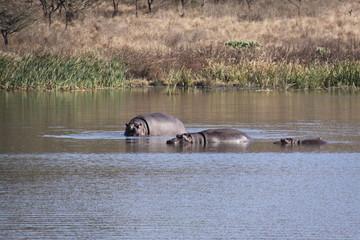 Hipopotomos - sudafrica