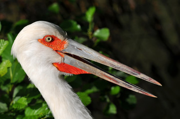 close up of maguari stork