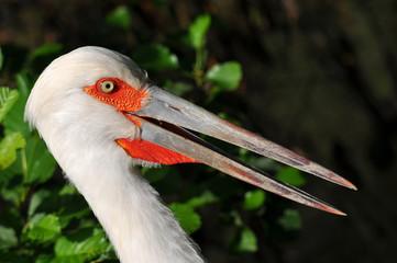 close up of maguari stork