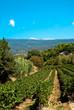 vignes au pied du Mont Ventoux