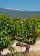 pieds de vignes au pied du Mont Ventoux