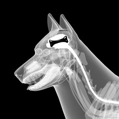 dog x-ray anatomy