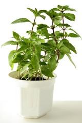 basil herb in pot