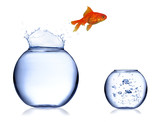 Gold fish jumping off aquarium