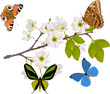 cherry tree branch with four big butterflies