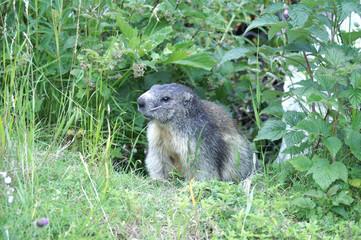 Marmotte - Alpes