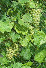 Grapevine with Fruit