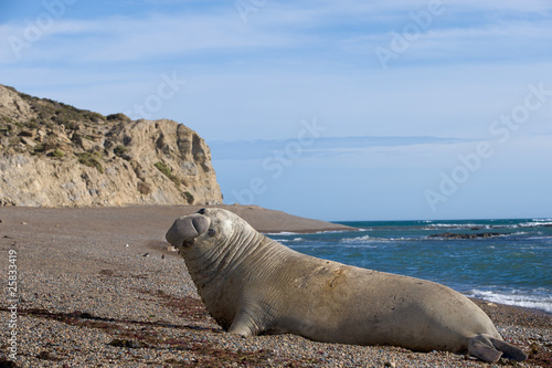 Male Elephant Seal..