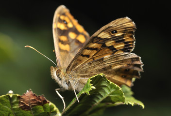 Macro de mariposa.