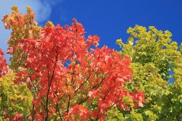 Herbstfarben, Laubwald, blauer Himmel