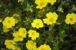 Detaily fotografie Žlutá Portulaca Květiny