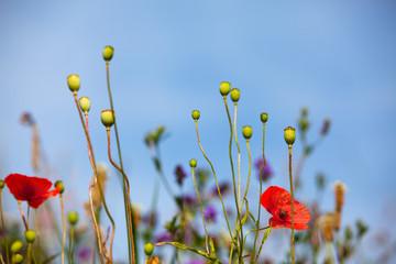 Mohnblumen auf Wiese