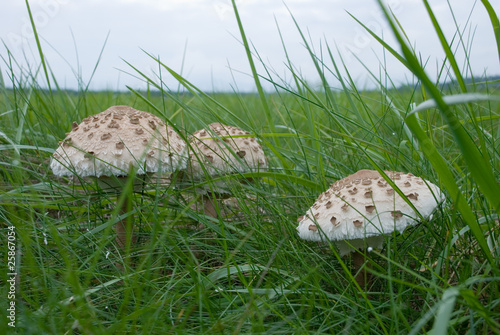 parasolpilz - honey agaric on medow