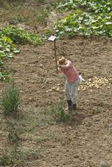 Agricultor sacando patatas.