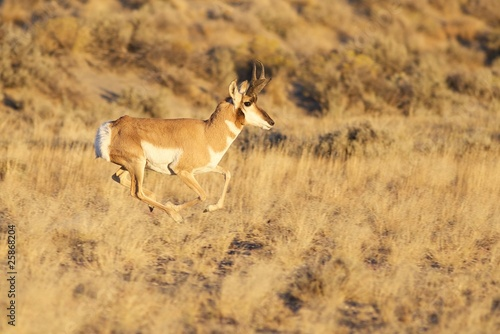 In de dag Antilope Running Buck Pronghorn