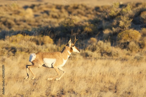 Fotobehang Antilope Running Pronghorn