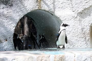 フンボルトペンギン (東京・上野動物園)