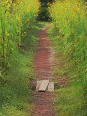 Pathway between plants of Cosmos flower, Asteraceae