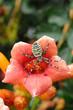 argiope bruennichi su fiore rosso
