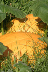 Two big pumpkins growing in the grass