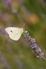 Schmetterling Südtirol