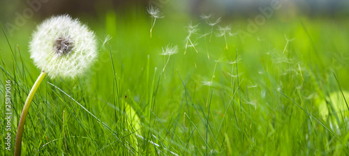 Foto op Aluminium Paardebloem Beautiful white dandelion on a lawn
