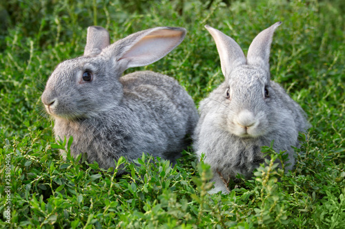 Rabbits in grass