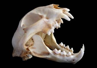Isolated Eurasian lynx (Lynx lynx) skull