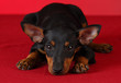 toy manchester terrier puppy
