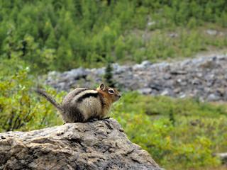 streifenhörnchen auf stein